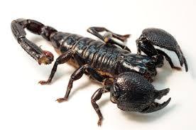 cool pets Emperor Scorpions myexoticworld