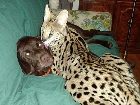 Serval Cats As Pets | Best Cat Cute Pictures, Meme, Cartoon