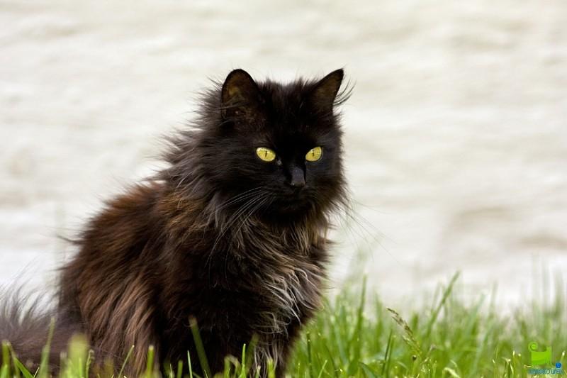 Tiffany Chantilly Cat