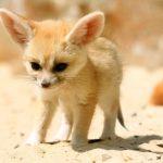 baby fennec fox