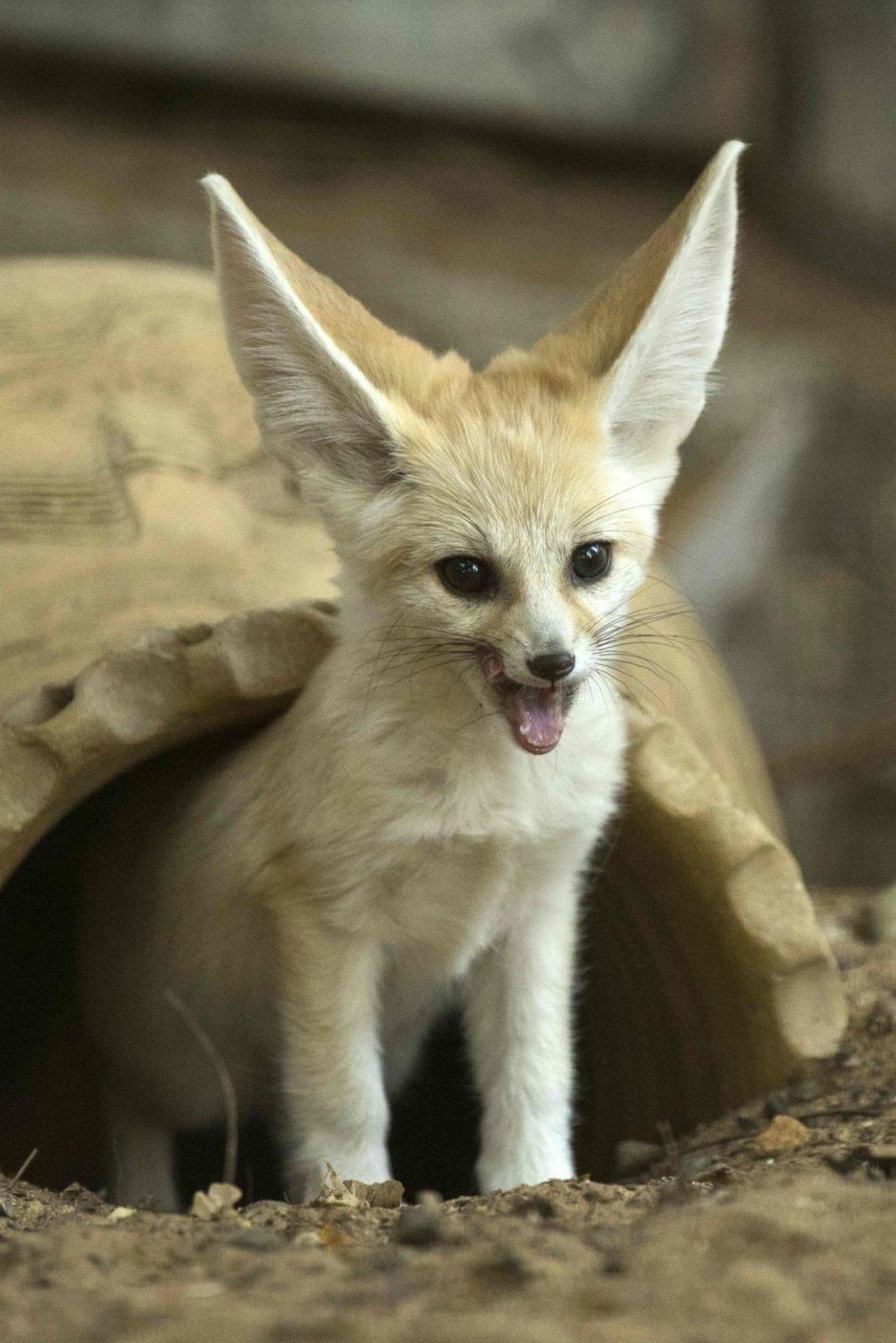 baby fennec fox as pet