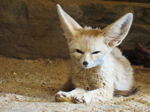baby fennec fox diet
