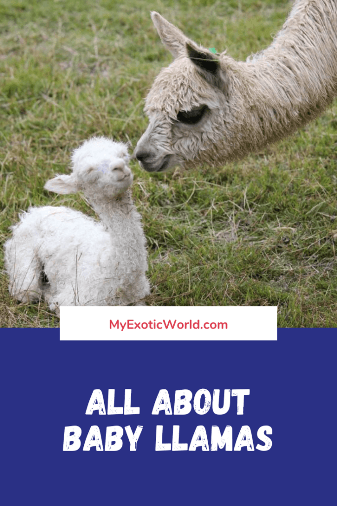 Baby Llamas Habitat, Diet, Characteristics