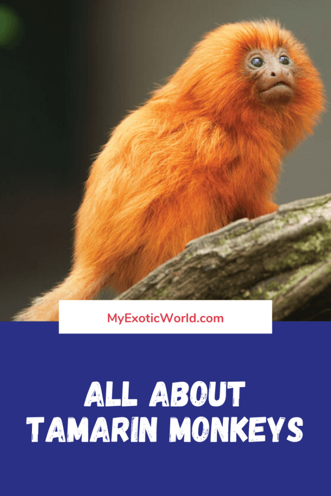 Tamarin monkey Diet, Fun Facts and Pet Care tips