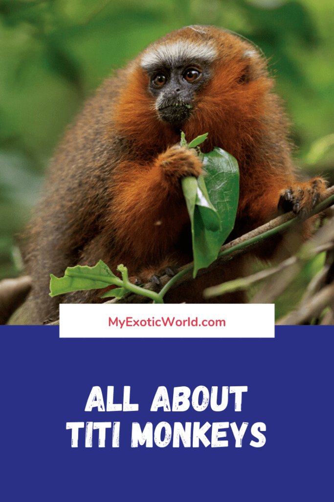 Titi Monkeys Diet, Fun Facts and Pet Care tips