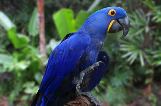Hyacinth Macaw as Pet