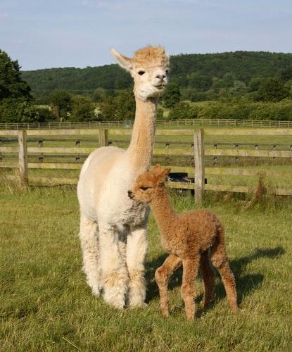 Baby Llamas lifespan