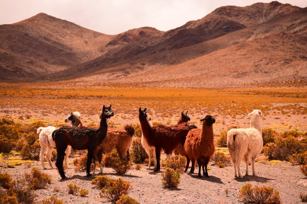 Baby Llamas Habitats