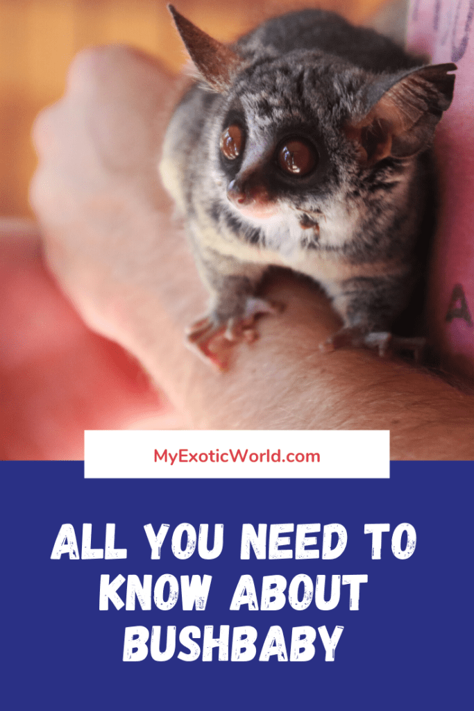 All about Bushbaby