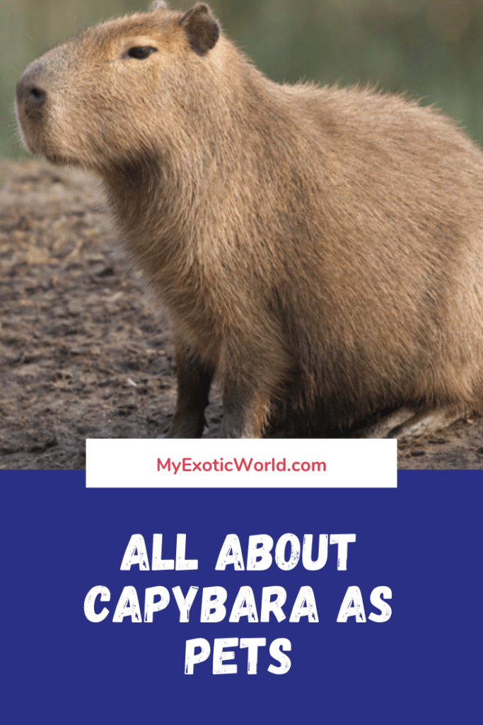 All about Capybara as Pets- Diet, Lifespan, Habitat and Facts