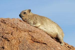 Rock-hyrax-wikipedia