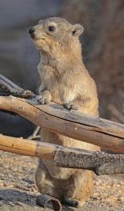 Rock_hyrax_Procavia_capensis-Wikipedia-scaled