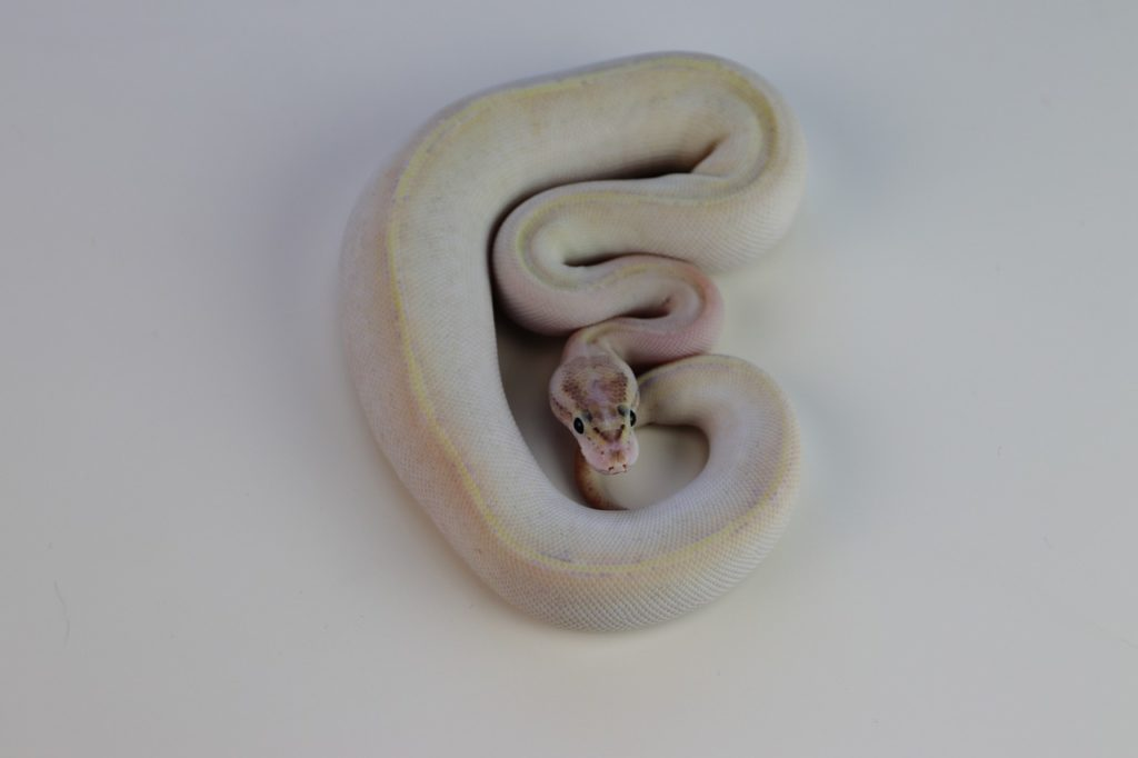 Ball python as a pet