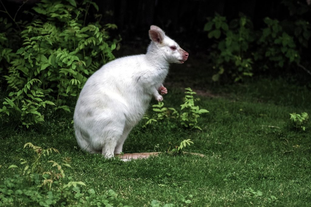 albino wallaby - Wallaby as Pets, Species, Facts and their Kangaroo relatives