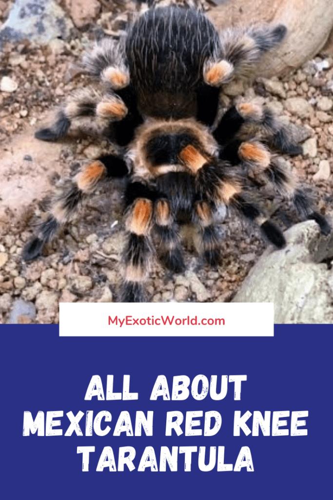 mexican red knee tarantula myexoticworld