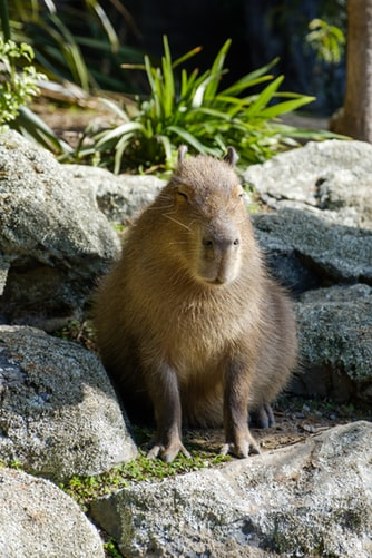 capybara as pets - myexoticworld
