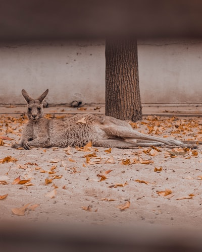 Wallaby as Pets, Species, Facts and their Kangaroo relatives