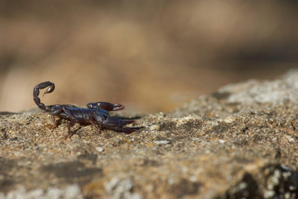 Emperor Scorpion- The World's Largest Scorpion